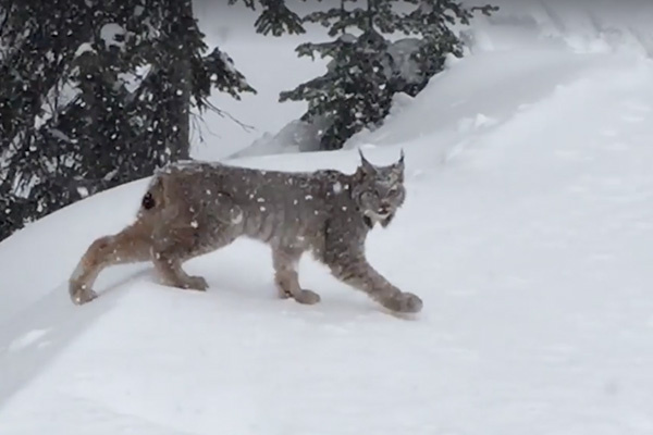 Lynx at Big White Ski Resort