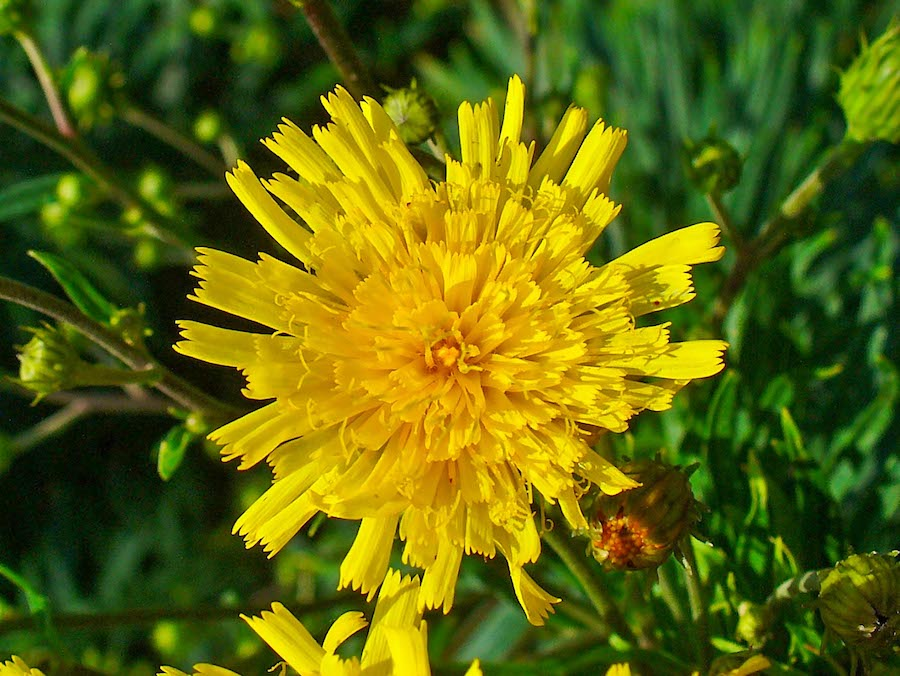 Narrow-leaf hawkweed
